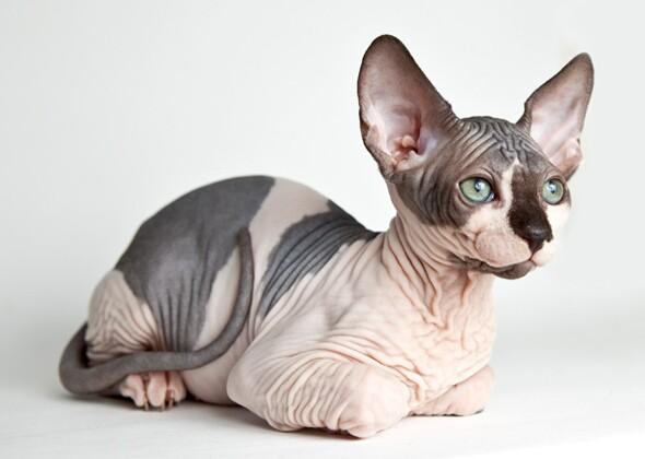 Cat Breeds Big Ears Big Deal