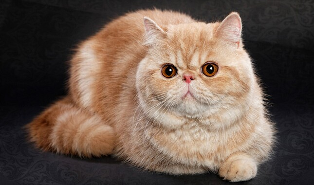 Exotic Shorthair on Black Background