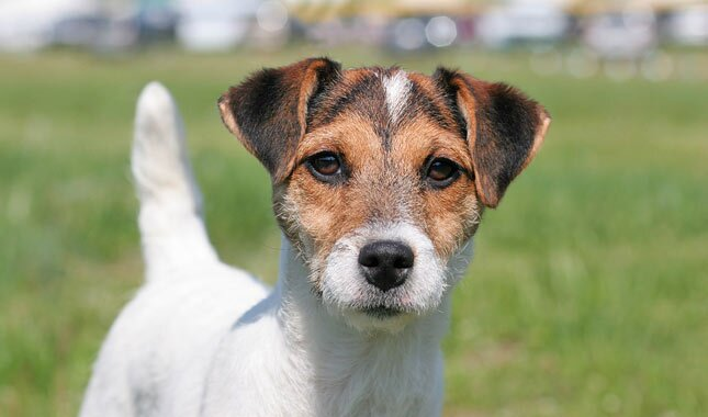 Parson Russel Terrier Dog Breed
