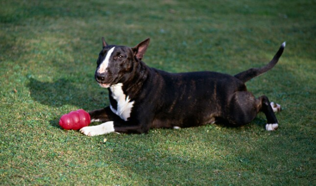 Miniature Bull Terrier lying on grass with a toy