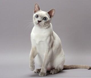 东奇尼猫的猫品种