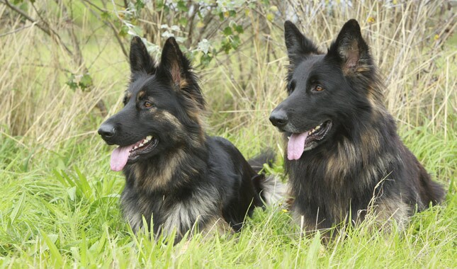 Two German Shepherd Dogs Lying in Grass