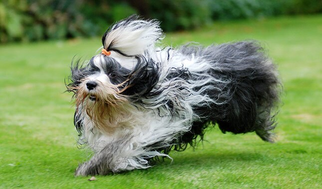 himalayan terrier tibetan terrier dog breed information 3896