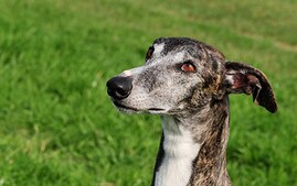 Galgo Espanol Dog Breed