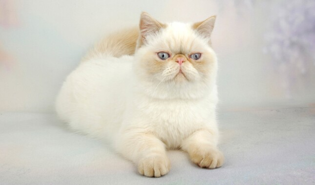 White Exotic Shorthair Cat