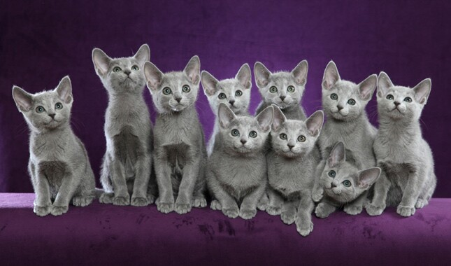 Litter of Russian Blue Kittens