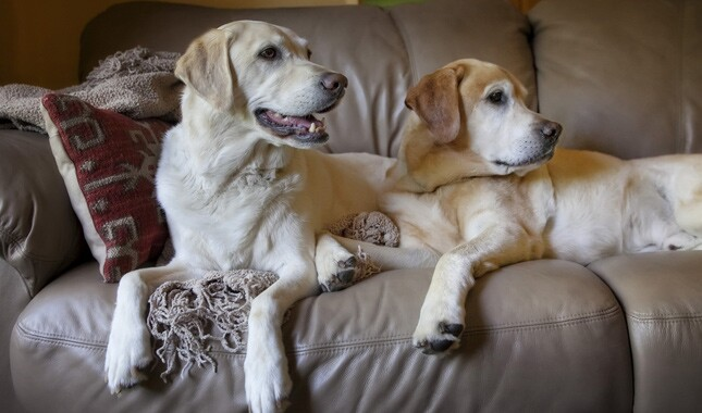 Two Yellow Labrador Retrievers on Sofa