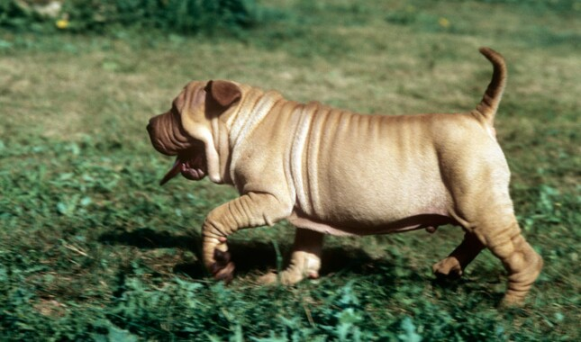 Shar-Pei Puppy Running in Grass