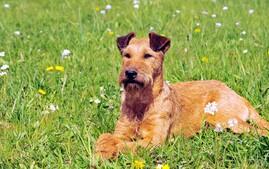 爱尔兰梗犬