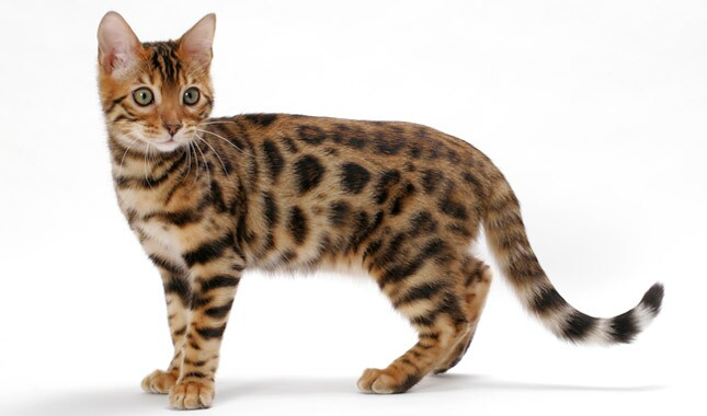 A Bengal Cats Personality Bengal Cat Breed Infor...