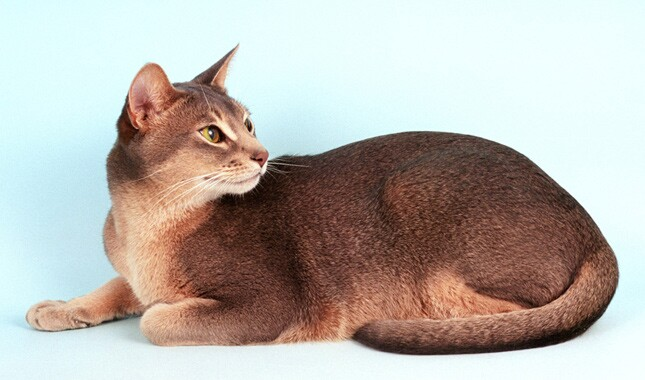 Abyssinian Cat Price In India