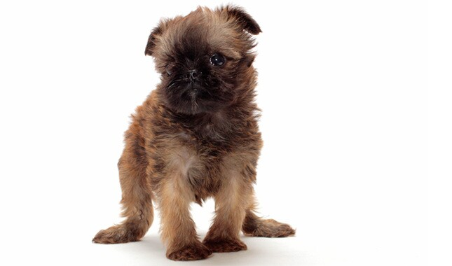Brussels Griffon Dog Breed