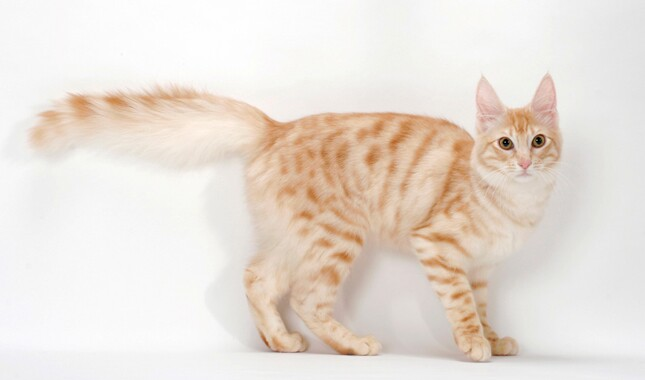 Turkish Angora Standing Side View