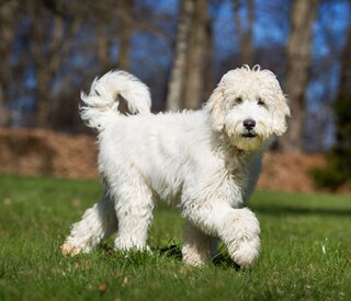 Labradoodle in a field