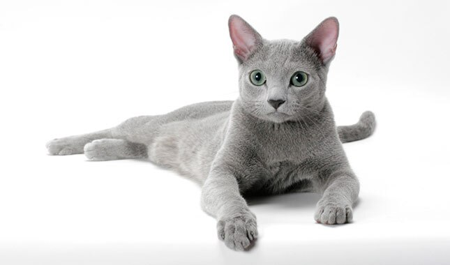Russian Blue Cat Facts And Personality Traits Hill S Pet