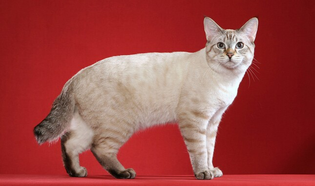 American Bobtail on Red Background