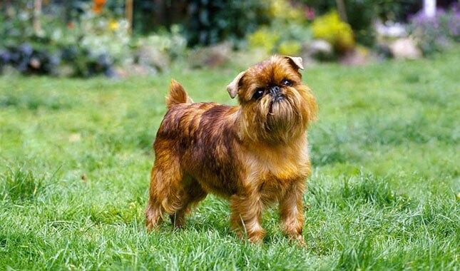 Brussels Griffon dog breed