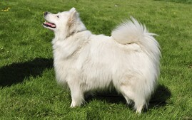 White German Spitz Standing on Grass