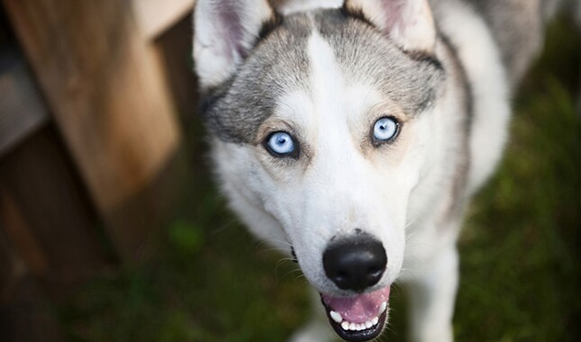Do Dogs Have Blue Eyes