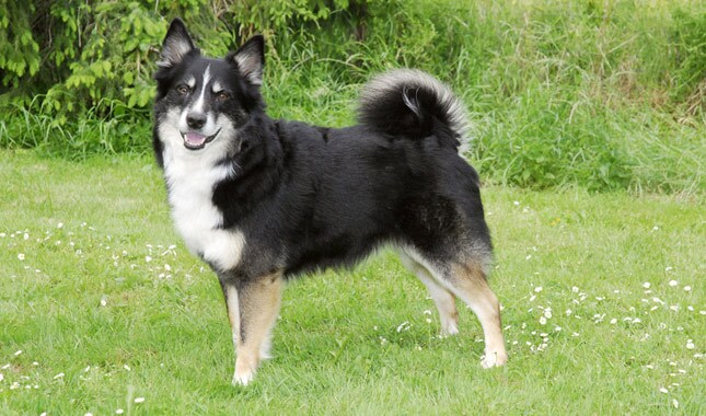 Black Icelandic Sheepdog Standing in Grass