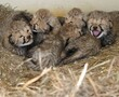 Two litters of five cheetah cubs each are thriving at the Smithsonian Conservation Biology Institute in Virginia.