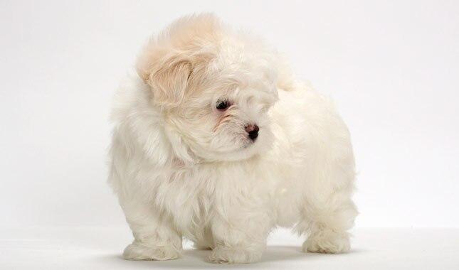 maltese dog. maltese dog o