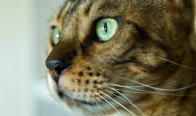 Close Up of Bengal Cat Eyes