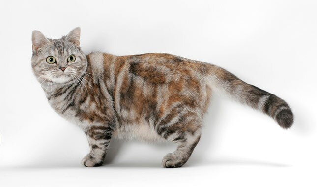 American Shorthair cat white background