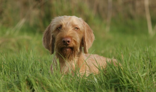 Wirehaired Vizsla Sitting in Grass