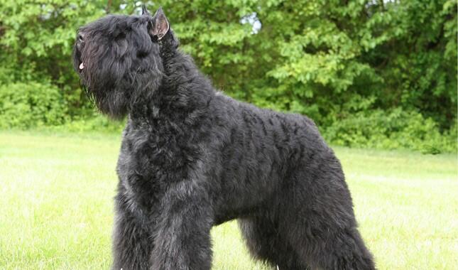The dog in world: Bouvier des Flandres dogs  |Bouvier Dog