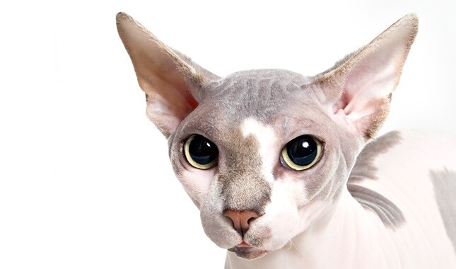 Sphynx cat close up