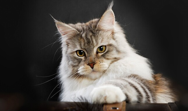 Maine Coon on Black Background