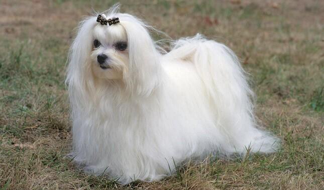 Posh Dog Breeds