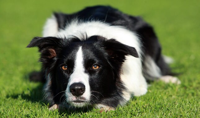 Border Collie Dog.