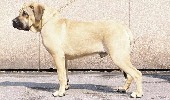 Perro De Presa Canario Breed Information
