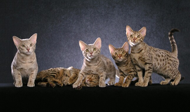 Five Ocicat Kittens