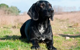 Basador designer dog
