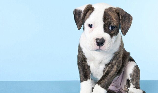 American Bulldog Puppy on Blue Background