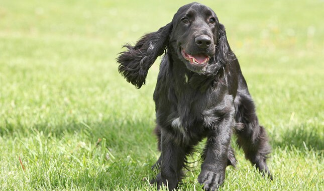 Field Spaniel Dog Breed