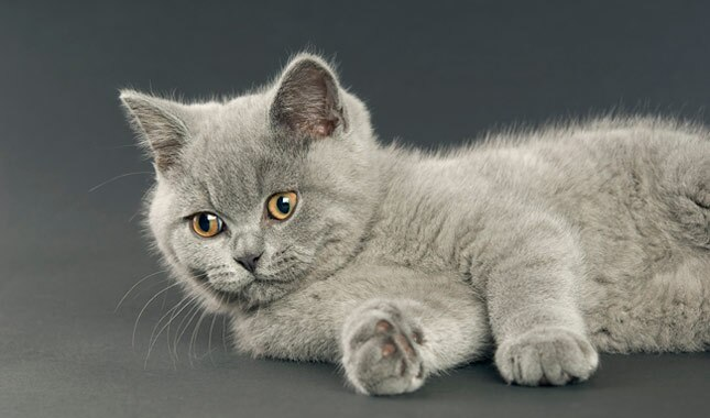 Gray British Shorthair