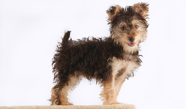 Yorkipoo Dog Breed Information