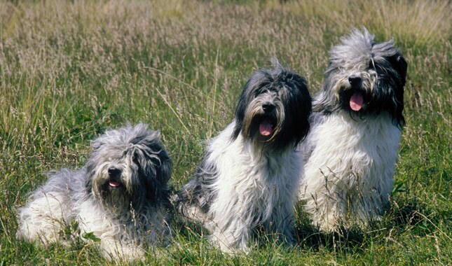 Three Schapendoes Dogs