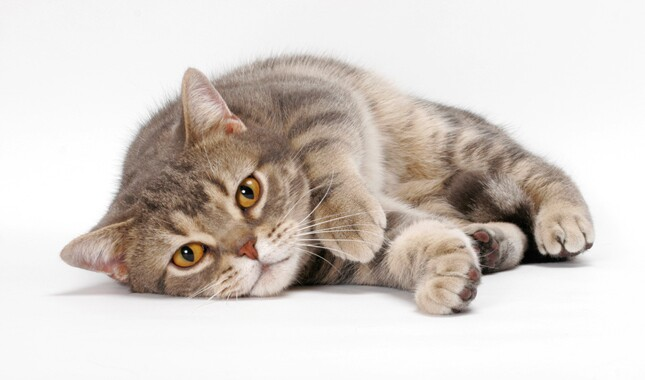 American Shorthair Looking at Camera