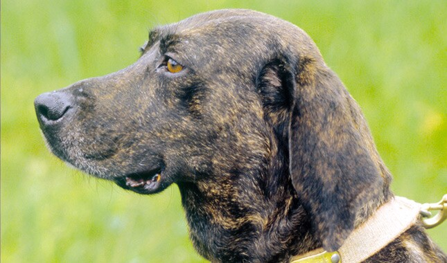 Image result for plott hound