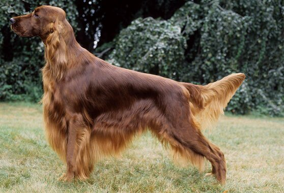 irish setter breed information. Black Bedroom Furniture Sets. Home Design Ideas