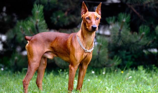 德国Pinscher狗品种