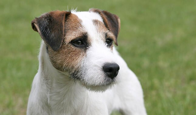 Jack Russell Training: 2 Tips on How to Do It the Right Way