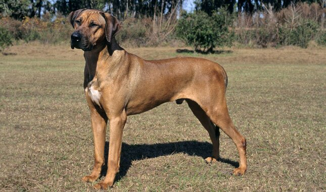 Rhodesian Ridgeback Dog Breed
