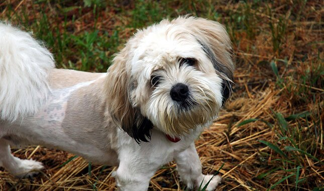 Shihpoo Dog Breed