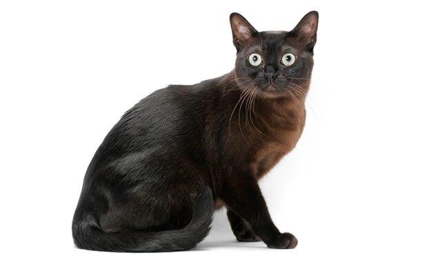 Burmese Cat Vancouver Island